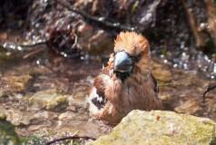 Дубонос купается в роднике