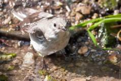 Мухоловка-белошейка купается