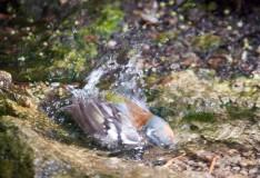 Зяблик купається
