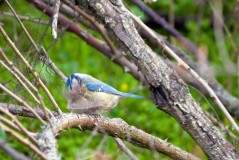 Лазоревка собирает перья для гнезда