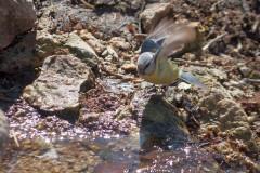 Лазоревка прилетела на водопой