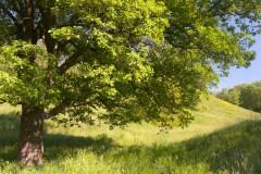 Вековой дуб в балке Хортицы